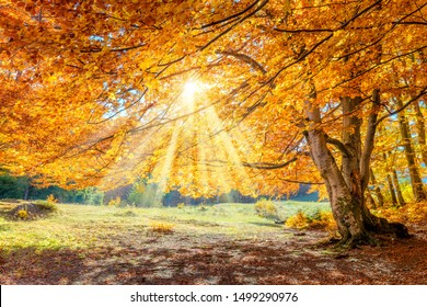 Fantastic Autumn landscape - big forest golden tree with sunlight on sunny meadow