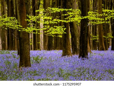 Fantastic carpet of bluebells can be seen in Challock wood near Ashford, Kent.