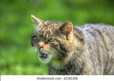 Fantastic close up of Scottish wildcat capturing character and excellent detail