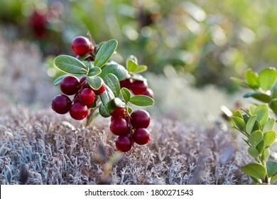 Fantastic dark red lingonberries (Vaccinium vitis-idaea). Wonderful dark red fruits of a lingonberry growing in a forest.