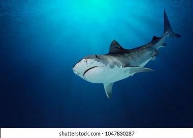 Fantastic detail in the deep clear blue water. Portrait of a shark up close. Clear blue ocean water and sunlight beneath the surface of water in the background.