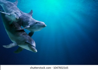 Fantastic detail in the deep clear blue water. Three dolphins enjoing together. Clear blue ocean water and sunlight beneath the surface of water in the background.