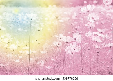 Fantastic dream moment of cosmos flowers garden,Blurry to soft focus and retro film look new color intrend tone.