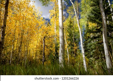 Fantastic fall foliage with gorgeous colors and a variety of trees types- birch, aspen, pine- on a cloudy day.
