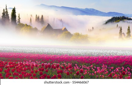 Fantastic field with tulips Ukrainian mountain farmer from the famous Dutch and European varieties of tulips incredible and attracts tourists. Beautiful mountains on rasvete with fog after rain.
