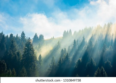 fantastic foggy scenery in autumn. pine forest on the hillside at high noon. wonderful sunny weather with rising clouds on a blue sky above. unusual epic nature condition. view from below