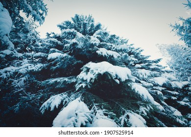 Fantastic green and fluffy branches of Christmas trees covered with white snow in the spruce forest of the Carpathian mountains on a sunny day