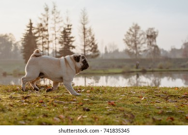 Fantastic happy beige pug dog is running from the left to the right. Behind him there is lake and little island with trees. Autumn in Poland at sunset.