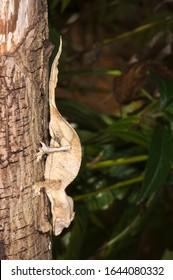 Fantastic Leaf Tailed Gecko or Eyelash leaf tailed gecko or Satanic leaf tailed gecko (Uroplatus phantasticus), Madagascar