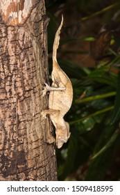 Fantastic Leaf Tailed Gecko (Uroplatus phantasticus), Madagascar
