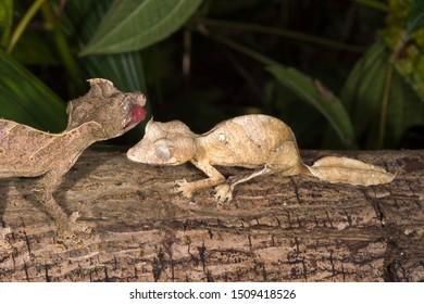 Fantastic Leaf Tailed Geckos (Uroplatus phantasticus), Madagascar