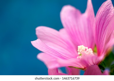 Fantastic pink flower. Close-up. Mallow (Malva silvestris) on the blue background. Copy space for text