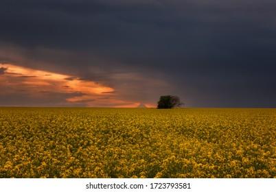 Fantastisches Rapsfeld am dramatischen bewölkten Himmel. Dunkle Wolken, kontrastreiche Farben. Herrlicher Sonnenuntergang, Sommerlandschaft.