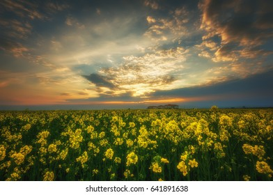 Fantastic rapeseed field at the dramatic overcast sky. Dark clouds, contrasting colors. Magnificent sunset, summer landscape.