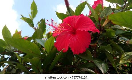 fantastic red hibiscious