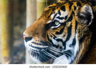 Fantastic specimen  of Bengal tiger posing placidly