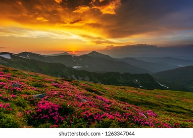 A fantastic summer evening in the Ukrainian Carpathians at the peak of blossoming flowers of rhododendrons, with a magical dramatic sky, lying with colored clouds and overlooking Hoverla.