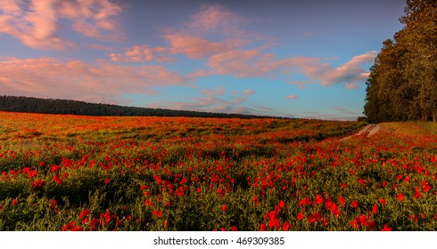 fantastic sunny day. amazing evening. flowering hills of poppy, in the warm sunlight. sky with colorful clouds. beautiful morning scene. wonderful blooming field of poppies.