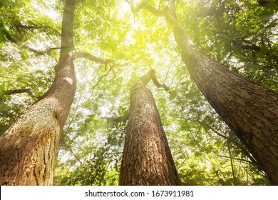 Fantastic three large trees growing up within the giant rain tree stump, looking up view of sunrise shines through green branches down on the large tree trunks. Focus on tree trunks. - Shutterstock ID 1673911981