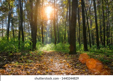 fantastic view of fairy-tale forest filled with bright sunshine, sun's rays shine through trunks of tall trees, autumn glade is covered with yellow leaves foreground