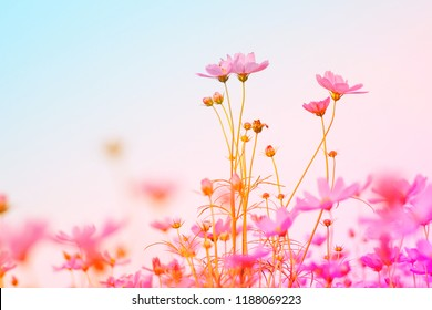 fantasy artistic Beautiful Floral Cosmos flower  pastel color filter, nature abstract background