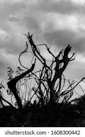 Fantasy tree roots of fallen poplar in the air in cloudy dramatic sky in late autumn day. Black and white image, Zlato Pole village, Dimitrovgrad, Haskovo province, Bulgaria. Scenery landscape - Shutterstock ID 1608300442