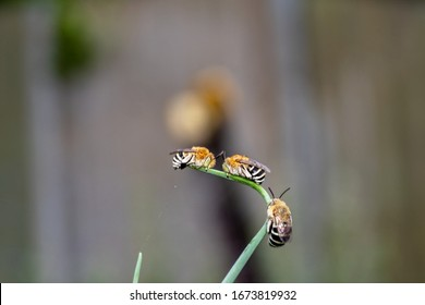 Far away shot of a group of blue banded bee sleeping/resting on a curved green plant