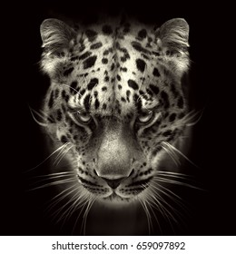 far eastern leopard face isolated on black background