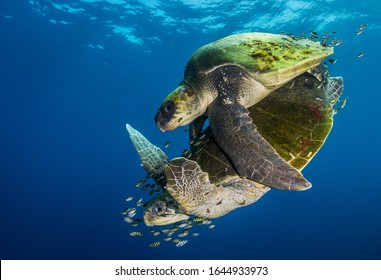 Faraway from land, in the pelagic domain of the Pacific Ocean, off Ensenada de Muertos, in Baja California Sur, a couple of Olive ridley sea turtles (Lepidochelys olivacea) performs its mating ritual