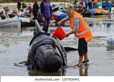 FAREWELL SPIT, TASMAN/NEW ZEALAND – FEBRUARY 12, 2017: [Project Jonah volunteer in the foreground, Golden Bay locals and tourist care for stranded pilot whales on Farewell Spit, New Zealand.]