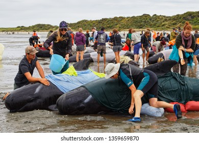 FAREWELL SPIT, TASMAN/NEW ZEALAND – FEBRUARY 12, 2017: [Golden Bay locals and tourists volunteer to care for stranded pilot whales on Farewell Spit, New Zealand.]