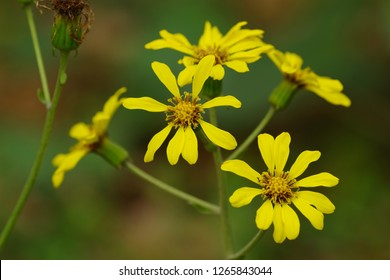 Farfugium japonicum (Japanese silver leaf) - Shutterstock ID 1265843044
