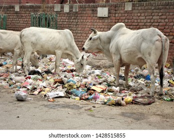 Faridabad, Haryana / India - June, 18, 2019 : Stray cows searching food in a open heap of garbage lying by the side of an Indian road