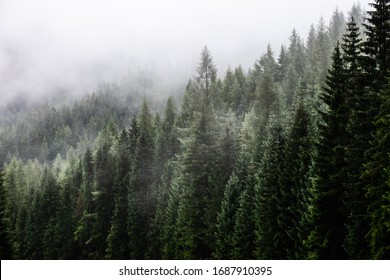 Fark fir forest with fog