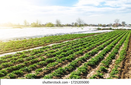 Farm agricultural field of plantation of young Riviera variety potato bushes. Agroindustry and agribusiness. Agriculture, growing food vegetables. Cultivation and care, harvesting in late spring.