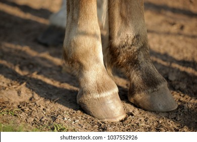 farm animal detail - horse legs with brown hoofs standing on a sandy bottom in Poland, Europe