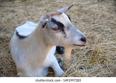 farm animal goat barn straw farming livestock agriculture