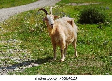 Farm animal. Goat on mountain pasture.