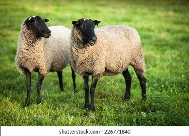 Farm animals: black-head sheep grazing on a lovely green pasture