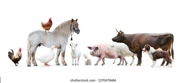farm animals isolated on white background