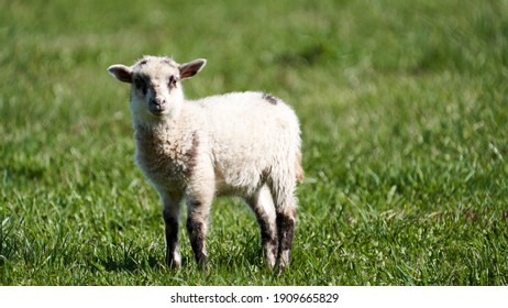 Farm animals: Lamb at the countryside pasture in spring time, Lithuania.
