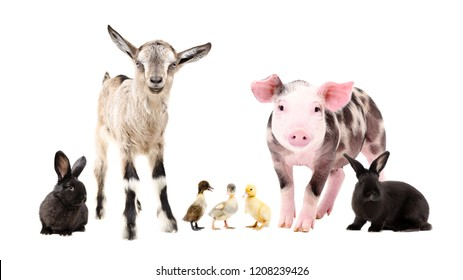 Farm animals, standing together, isolated on white background