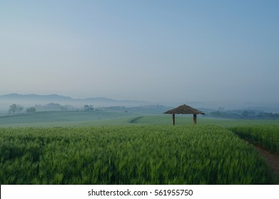 A farm of barley in early morning