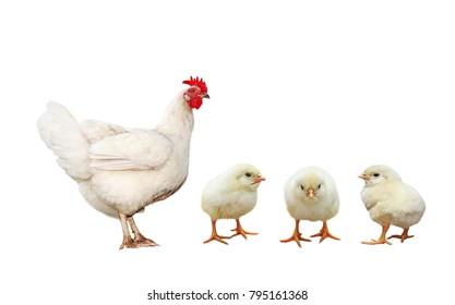 farm bird chicken hen and three little yellow chicken isolated on white background