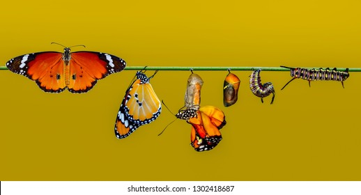 A farm for butterflies, pupae and cocoons are suspended. Concept transformation of Butterfly