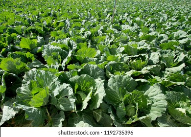 Farm cabbage on the mountain