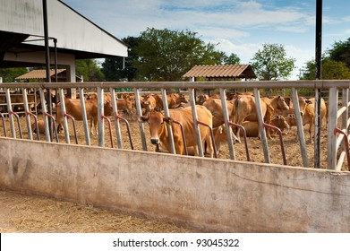 Farm of Calves