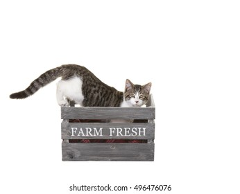 Farm cat inside a wooden crate, looking for a place to nap.  Shot on white background.