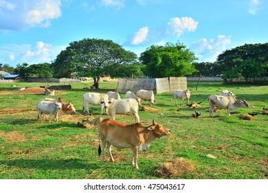 farm cattle / thailand