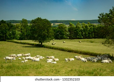 A farm with Charolais cattle in a meadow near Massilly, France